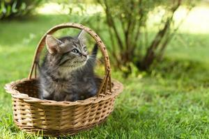 a kitten in a basket on the grass, in summer photo