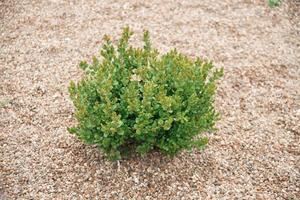 concepto de diseño de terraplén, foto de arbusto verde y pequeñas rocas cerca