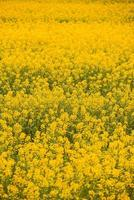 Vertical photo of yellow beautiful rape during spring time