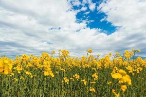 Foto del hermoso campo floreciente de violación durante el verano