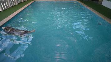 Dog swimming in swimming pool video