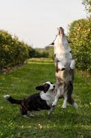 Corgi dog jumping outdoors in apple orchard photo