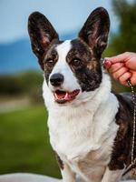 Brown corgi dog photo