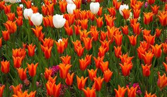 Floral Spring Flower Colorful Tulips photo