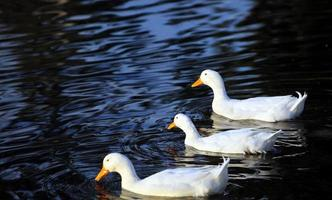 Sweet Animal Bird Duck in Lake in Nature photo