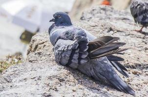 Pigeons on a rock in Rio de Janeiro photo
