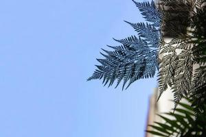 Silueta de un helecho conocido como encaje portugués en Río de Janeiro, Brasil foto