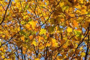 Oak branches against the blue sky. Autumn yellow oak leaves. photo