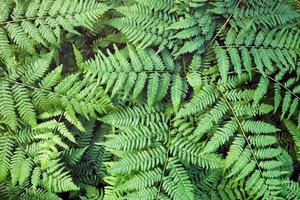 Green fern leaves background. photo