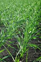 Young wheat winter crops in a field. photo
