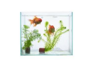 Acuario con peces y plantas acuáticas aislado sobre un fondo blanco. foto