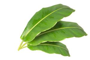 Grandes hojas de plátano verde de palmera exótica sobre fondo blanco. foto