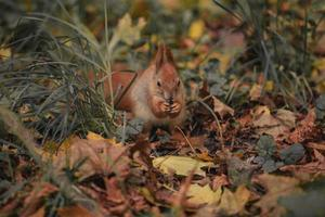 Squirrel among leaves photo