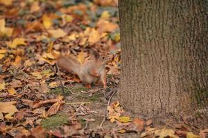 Squirrel near a tree photo