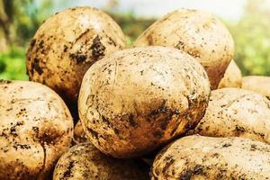 patatas en el huerto. patatas de cosecha propia que se cosechan foto