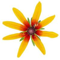 flor amarilla aislada y mariquita. macro foto
