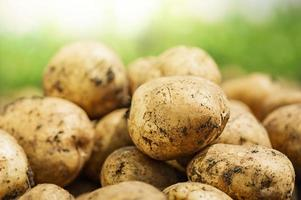 patatas frescas en la granja. foto