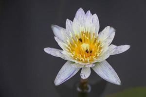 granja de loto, símbolo de la naturaleza, loto blanco en el agua foto