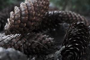 Conos de abeto de forma larga que yacían en el montón en el suelo en el jardín foto