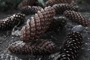 Grupo de conos de abeto de forma larga marrón tirado en el suelo en el jardín foto