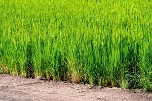 Rice paddy field organic jasmine farm, nature Asia food. photo