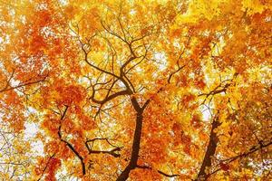 Branches of autumn yellow trees, bottom view photo