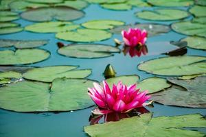 Pink lotuses in clear water photo