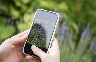Girl taking pictures of lavender flowers photo