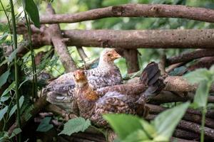 Chicken resting on the dead woods at the farm photo