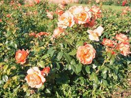 flores rosas rosadas foto