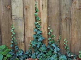 planta de hiedra en la cerca foto