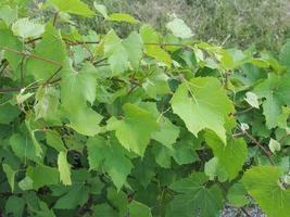 planta de vid vitis foto