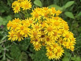 Flores de hierba cana común de color amarillo brillante, Senecio jacobaea foto