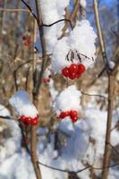 Viburnum in snow photo