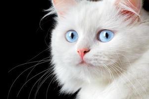 Portrait of a white cat photo