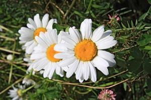 hermosas flores de crisantemos foto