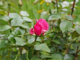 A pink rose photo