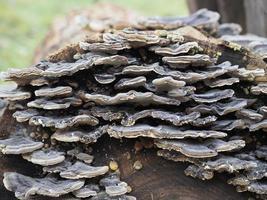 Polypores bracket fungi photo