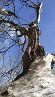 Beautiful driftwood of a tree against the blue sky. Dry stump photo