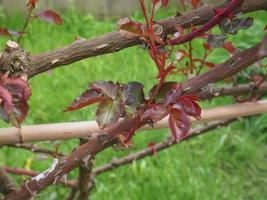 hojas de la planta de rosa foto