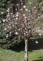 árbol de magnolia de sweetbay magnolia de sweetbay foto