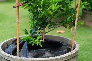 black plastic was covered over soil of lime tree in garden photo