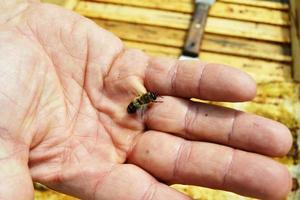 Winged bee slowly flies to beekeeper collect nectar on private apiary photo