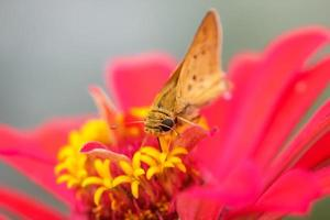 Close up shot of moth on a pink flower photo