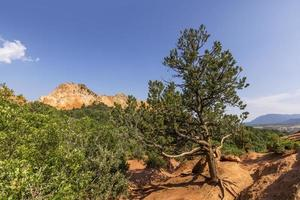 Coniferous tree on the red rocks in Garden of Gods state park photo
