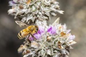 Primer plano de miel de abeja en flores foto