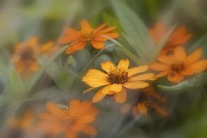 Primer plano de flores cosmos naranja en una planta foto