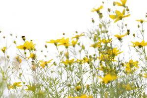 Primer plano de flores de manzanilla amarillas sobre fondo blanco. foto