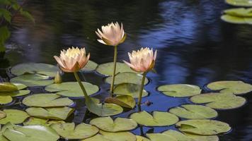 Flores de nenúfar y vainas en un estanque de jardín foto