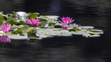 flores de lirio de agua rosa en el lago del jardín foto